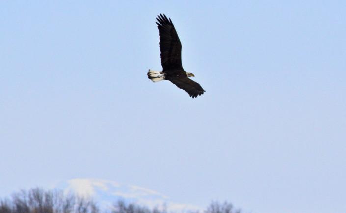Bald Eagle over Shelburne Bay